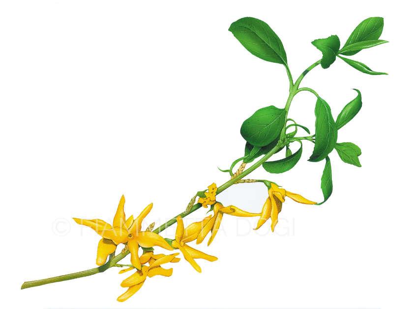 Botanical_fiammetta_dogi_06