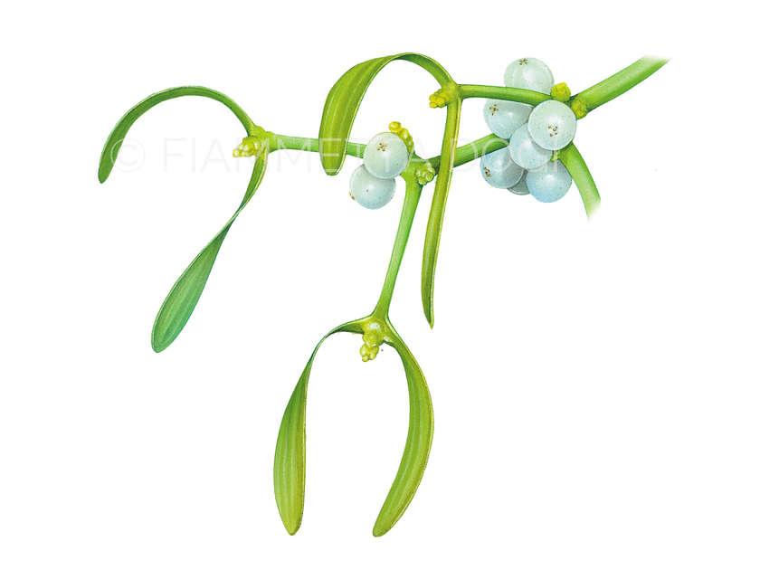 Botanical_fiammetta_dogi_07