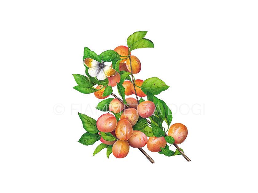 Botanical_fiammetta_dogi_10